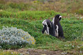 Two magellanicus penguins stays in green grass in patagonia Royalty Free Stock Images