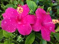 Two magenta hibiscus flowers with water droplets