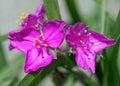 Two in magenta macro of virgina spiderwirt flowers utah usa Royalty Free Stock Photos