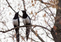 Two magpies perched branch Royalty Free Stock Photo