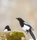 Intelligent Magpies Royalty Free Stock Photo