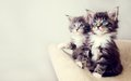Two Maine coons Royalty Free Stock Photos