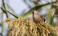 Two male bearded tits on top of reed tassel are perching Royalty Free Stock Photos