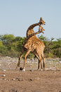 Two male Giraffes fighting Royalty Free Stock Photo
