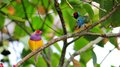 Two male Gouldian finch birds Royalty Free Stock Photography