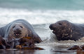 Two male grey seal Stock Images