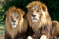 Two male Lions Stock Photos