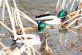 Two Male Mallard ducks afloat in early spring Royalty Free Stock Photo