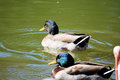 Two Male Mallard Ducks at pond Royalty Free Stock Photo