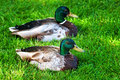 Two male mallard ducks resting side by side on green grass Royalty Free Stock Photo