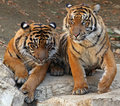 Two male tiger brothers sitting together Royalty Free Stock Images