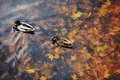 Two mallard duck on a water in dark pond with floating autumn or fall leaves. Royalty Free Stock Photo