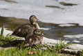 Two mallard ducklings near edge of pond Royalty Free Stock Image