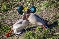 Two Mallard Ducks agressively fighting Royalty Free Stock Photo