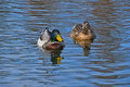 Two mallard ducks in blue wavy water Royalty Free Stock Photo