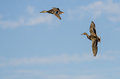 Two Mallard Ducks Flying in a Blue Sky Royalty Free Stock Photo
