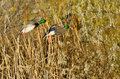 Two Mallard Ducks Landing in the Autumn Marsh Royalty Free Stock Photo