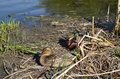 Two mallard ducks male and female next to the water in the grass Royalty Free Stock Image