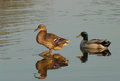 Two mallard ducks resting on water Royalty Free Stock Photo