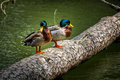 Two Mallard Ducks Standing on a Log Royalty Free Stock Photo