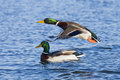 Two Mallards Royalty Free Stock Photos