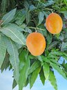 Two mangoes on branch Royalty Free Stock Photo