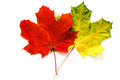 Two maple leaves Royalty Free Stock Photo