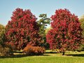 Two maple trees with beautiful red foliage in autumn Royalty Free Stock Photo