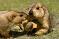 Two marmots with bisquit on the green grass Stock Images