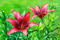Two maroon lily on background of bright green Royalty Free Stock Photo