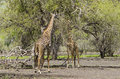 Two masai giraffes feeding from a tree giraffa camelopardalis tippelskirchi selous game reserve tanzania africa the selous was Royalty Free Stock Photos