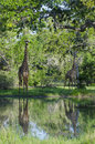 Two masai giraffes in selous giraffa camelopardalis tippelskirchi at a watering hole woodland game reserve tanzania africa the Stock Photos