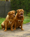 Two mastiff. Royalty Free Stock Photo