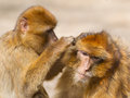 Two mature barbary macaque grooming typical behaviour Stock Photo