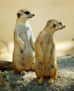 Two Meerkat standing Stock Photos