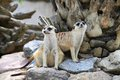 Two meerkat (Suricata suricatta) are watching the Royalty Free Stock Photo