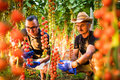 Two men agriculture workers cheking and collect harvest of cherry tomato in greenhouse Royalty Free Stock Photo