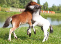 Two mini horses falabella playing on meadow bay and white sele in summer selective focus Royalty Free Stock Images