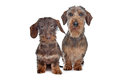 Two miniature Wire-haired dachshund dogs Royalty Free Stock Photo
