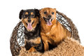 Two mixed breed rescue dogs posing
