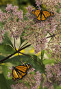 Two Monarchs (danuas plexippus) Royalty Free Stock Photo