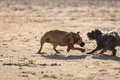 Two mongrel dogs playing together on beach Royalty Free Stock Photo