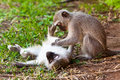 Two monkey playing on the ground Royalty Free Stock Photos