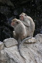 Two monkeys are sitting peacefully on a rock together in the background is a dark cliff Stock Photography
