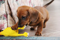 Two months old dachshund puppy smooth playing Royalty Free Stock Photo