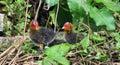 Two moorhen chicks in nest on goudenhandrei bruges belgium Royalty Free Stock Photos