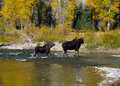 Two Moose Crossing Stream Royalty Free Stock Photography