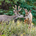 Two mule deer bucks with velvet antlers interact Stock Photo