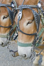 Two mule horses Royalty Free Stock Photo