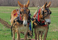 Two mules plowing